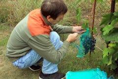 O jardineiro senta e cobre grupos azuis da uva nos sacos protetores t Imagens de Stock