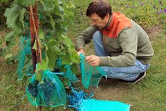 O jardineiro senta e cobre grupos azuis da uva nos sacos protetores t Fotografia de Stock