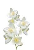 O jasmim bonito floresce com as folhas isoladas no branco Fotografia de Stock Royalty Free