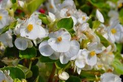 O jasmim bonito floresce na luz solar do verão Fotografia de Stock Royalty Free