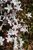 O jasmim cor-de-rosa branco floresce o arbusto Fotografia de Stock Royalty Free