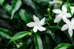 O jasmim floresce a florescência no arbusto no foco macio do dia ensolarado Foto de Stock