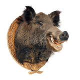O javali (scrofa do Sus) Imagem de Stock Royalty Free