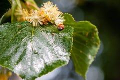 O joaninha rasteja em uma folha de uma árvore de Linden fotos de stock