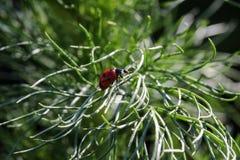 O joaninha rasteja em uma planta imagem de stock