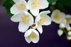 O joaninha vermelho em um ramo do jasmim branco floresce fotografia de stock