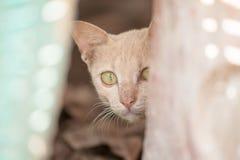 O jogo escondido gato Fotografia de Stock
