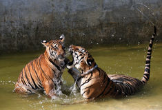O jogo os tigres grandes no lago, Tailândia Imagem de Stock Royalty Free
