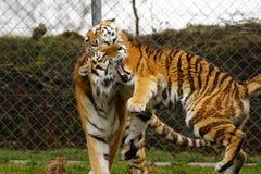 O jogo stunningly bonito dos tigres de Amur Imagem de Stock Royalty Free