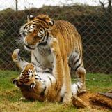 O jogo stunningly bonito dos tigres de Amur Fotografia de Stock Royalty Free