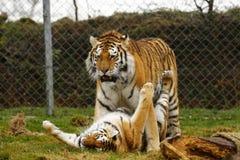 O jogo stunningly bonito dos tigres de Amur Imagens de Stock Royalty Free