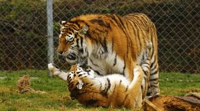 O jogo stunningly bonito dos tigres de Amur Fotografia de Stock