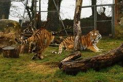 O jogo stunningly bonito dos tigres de Amur Fotos de Stock Royalty Free