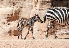O jovem concede a zebra Fotos de Stock Royalty Free
