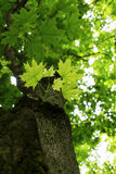 O jovem sae e o corpo da árvore de uma árvore plana no dia de verão da mola com ramos das folhas do verde do borrão e no fim clar imagem de stock