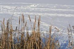 O junco do rio Foto de Stock Royalty Free