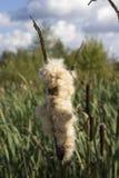 O junco maduro no pântano de turfa Foto de Stock