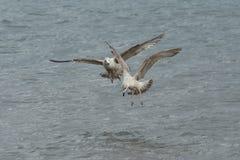 O juvenil Gulls a pesca Fotos de Stock Royalty Free