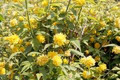 O kerria com rosas amarelas Fotografia de Stock