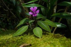 O kinabaluensis de Impatiens, bálsamo de Kinabalu, é uma planta de florescência no Balsaminaceae da família É endêmico a Bornéu fotos de stock