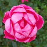 O KO dobro do rosa da pétala aumentou Foto de Stock