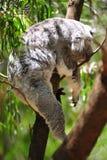 O koala imagens de stock