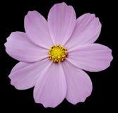 O kosmeya cor-de-rosa da flor, enegrece o fundo isolado com trajeto de grampeamento closeup Fotografia de Stock