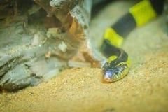 O krait unido (fasciatus do Bungarus) é uma espécie do elapid sna Imagens de Stock Royalty Free