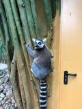 O lêmure pendura na parede exterior de uma construção e de olhares do jardim zoológico ao redor fotos de stock royalty free