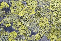 O líquene amarelo não significa nenhuma poluição do ar fotografia de stock