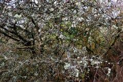 O líquene coberto de vegetação esfrega e árvore em um dia de invernos suave Foto de Stock