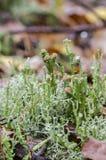 O líquene do copo cresce na floresta Fotografia de Stock Royalty Free