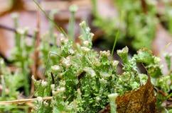 O líquene do copo cresce na floresta Imagem de Stock Royalty Free