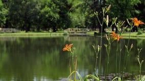O lírio alaranjado de florescência floresce no parque da cidade filme