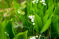 O lírio bonito do vale floresce com a abelha no fundo verde da natureza do bokeh do borrão, conceito da mola Lírio de florescênci fotos de stock royalty free