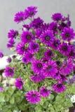 O lírio bonito floresce em um potenciômetro na rua Imagem de Stock Royalty Free
