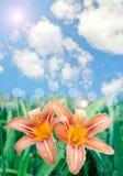 O lírio bonito floresce o fundo Foto de Stock Royalty Free