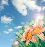 O lírio bonito floresce o fundo Fotografia de Stock Royalty Free