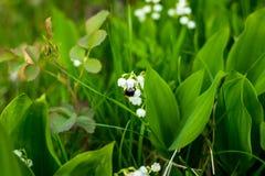 O lírio da flor do vale e a abelha na mola jardinam Foco seletivo Copie o espaço Lírio de florescência do vale fotografia de stock royalty free