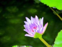 O lírio da flor na água com folhas Imagem de Stock Royalty Free