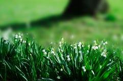 O lírio da mola do vale floresce - o fundo borrado Foto de Stock