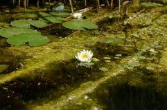 O lírio de água é um grande plano em um lago pequeno imagens de stock