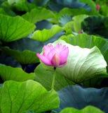 O lírio de água em uma lagoa com verde sae como o fundo Foto de Stock Royalty Free
