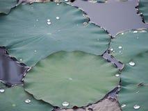O lírio de água/lótus verdes sae após um chuveiro de chuva Fotografia de Stock Royalty Free