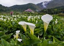 O lírio de Calla cultiva a vista em Taiwan Taipei Foto de Stock