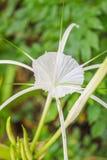 O lírio de Crinum, lírio do cabo, bulbo do veneno, lírio da aranha floresce Fotografia de Stock Royalty Free