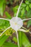 O lírio de Crinum, lírio do cabo, bulbo do veneno, lírio da aranha floresce Imagens de Stock Royalty Free