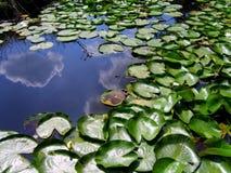 O lírio de lagoa Fotos de Stock
