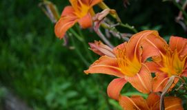 O lírio floresce o humor cor-de-rosa da natureza da flor Fotografia de Stock Royalty Free