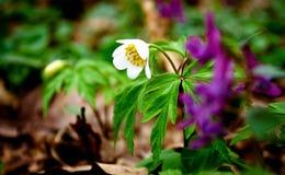 O lírio floresce o humor cor-de-rosa da natureza da flor Fotos de Stock